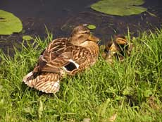 Sabian Symbol for Aries 30: A duck pond and its brood.