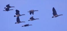 Sabian Symbol for Aries 12: A flock of wild geese