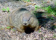 Sabian Symbol for Sagittarius 15: A groundhog looking for its shadow.