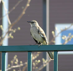 Sabian Symbol for Gemini 29: The first mockingbird in spring.