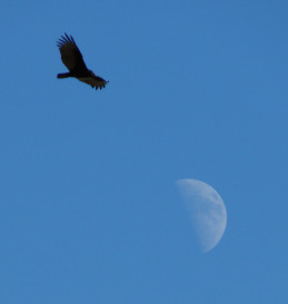 First Quarter Moon with Eagle