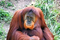 Sabian Symbol for Virgo 16: An orangutan.