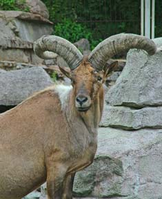 New Moon in Aries, the Ram